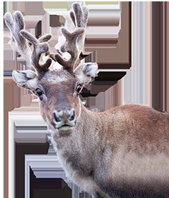 Reindeer_1_LR